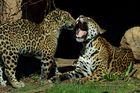 Jaguar Bess mit Sohn