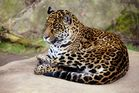 ~ Jaguar ~