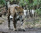 Jaguar comes 2 me