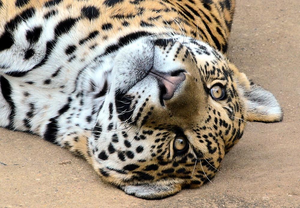 Jaguar im Krefelder Zoo