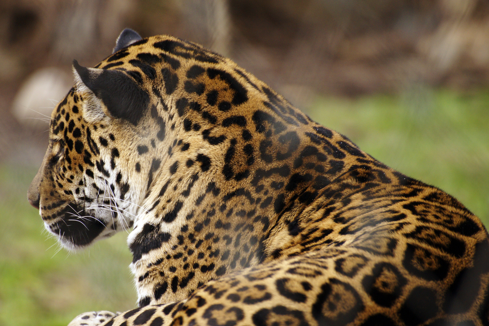 Jaguar im Profil