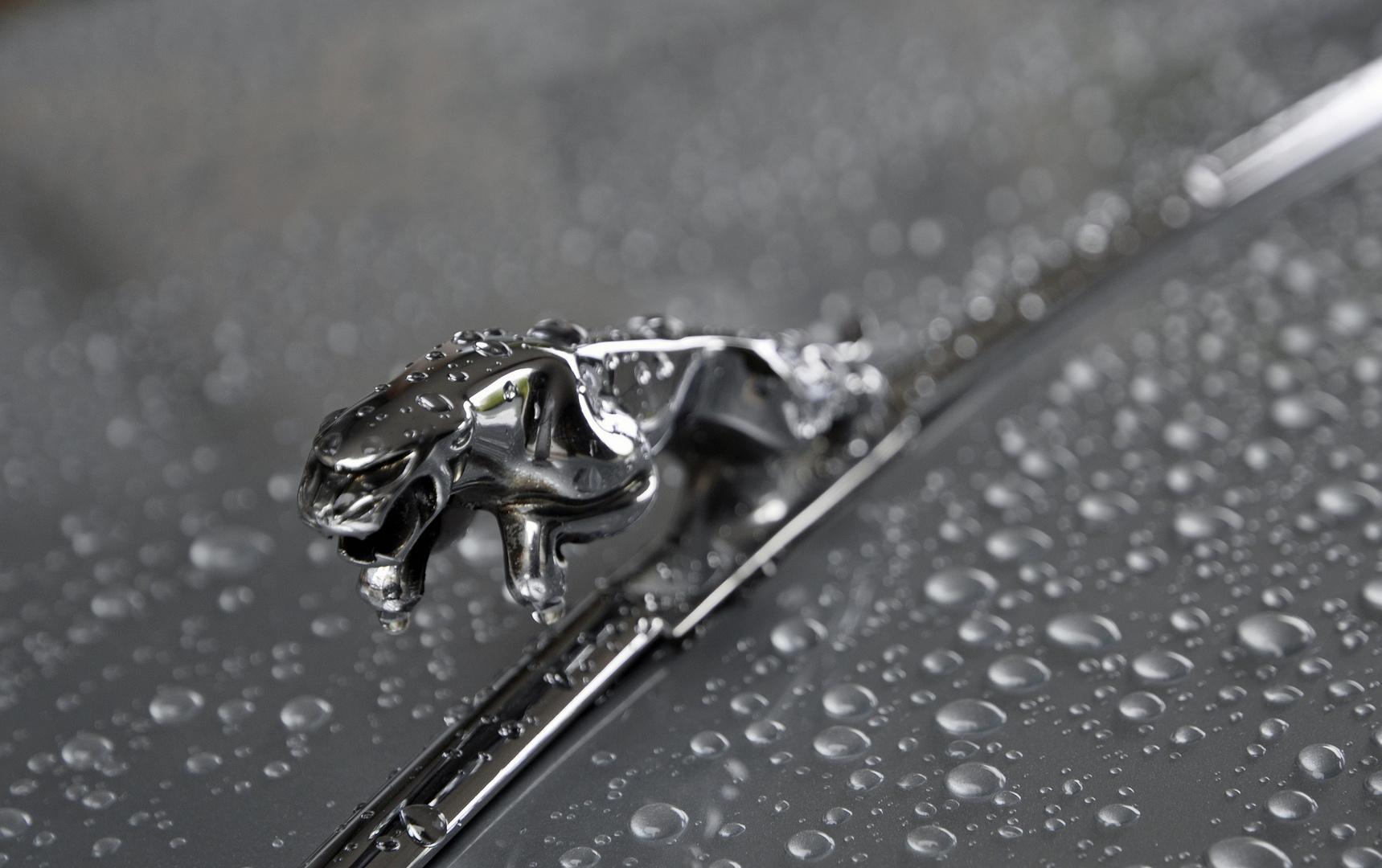 Jaguar im Regen