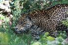 Jaguar im Wildgehege