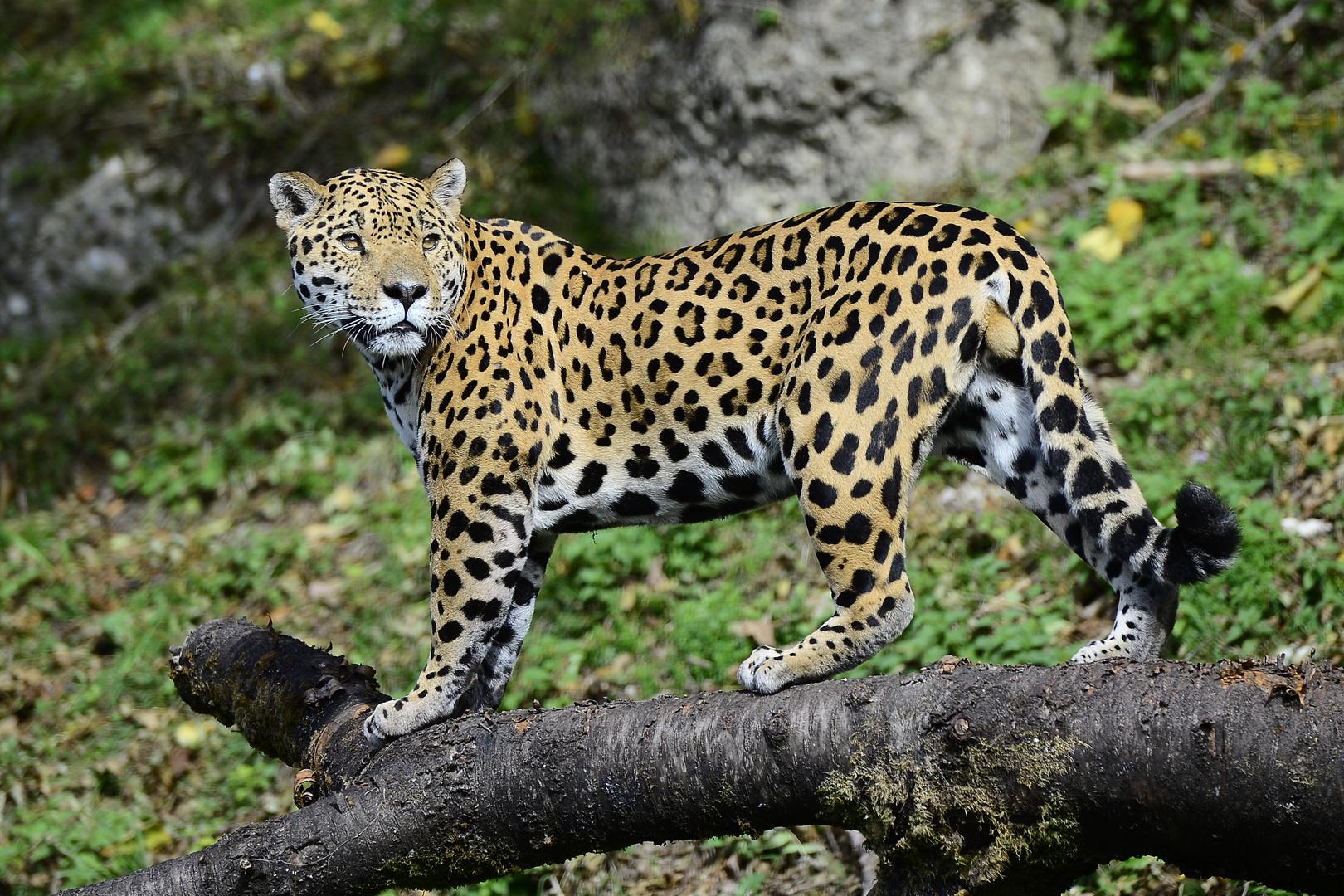 Jaguar im Zoo Salzburg