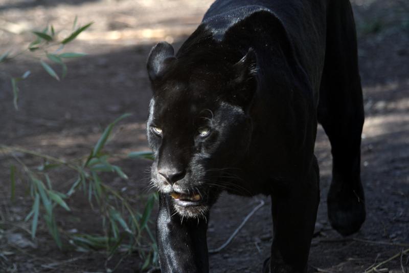 Jaguar in Black