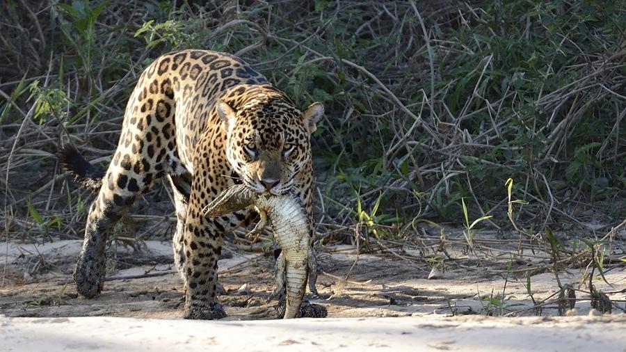 Jaguar mit Beute