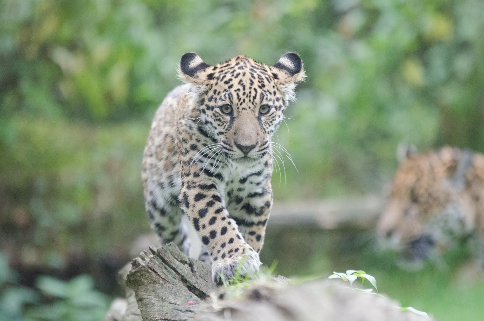 Jaguar Nachwuchs 2
