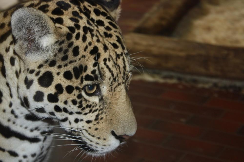 Jaguar (Panthera onca), Zoo Saarbrücken, Saarbrücken. 08.07.2008.