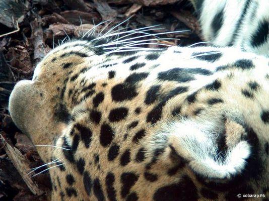 Jaguar, schlafend