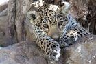 Jaguar zum knuddeln