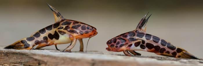 jaguarwels
