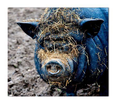 J'ai croisé un cochon
