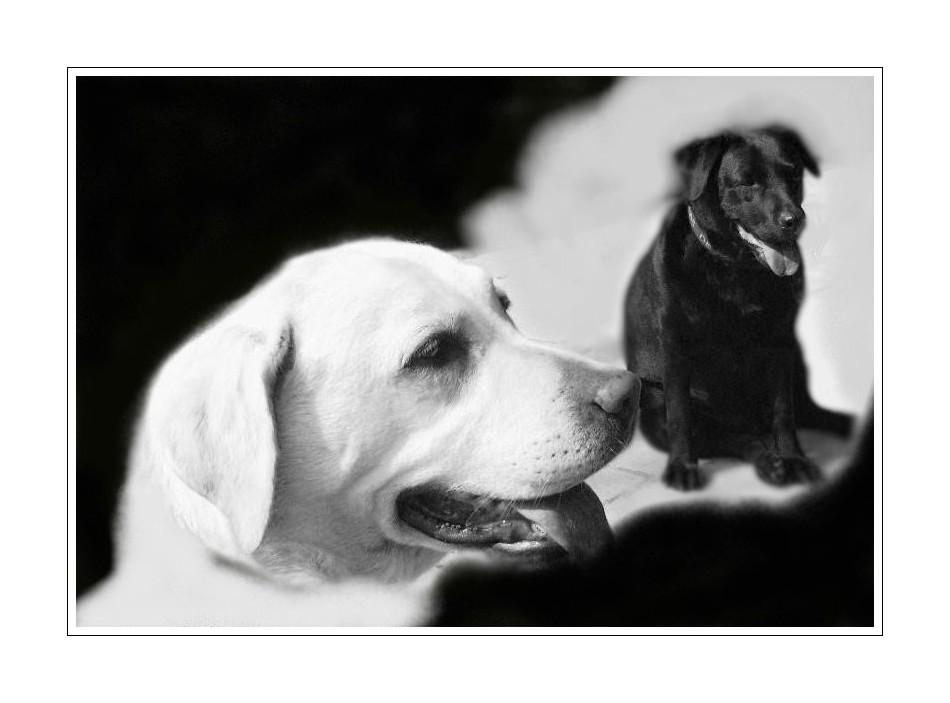 j'ai toujours rêvé d'être un Labrador noir !!!