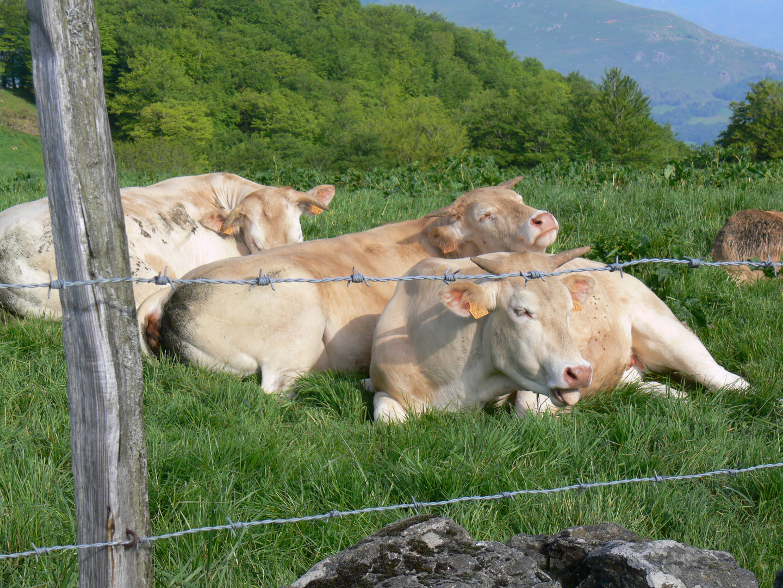 Jakobsweg - Blonde Kühe in den Pyrenäen