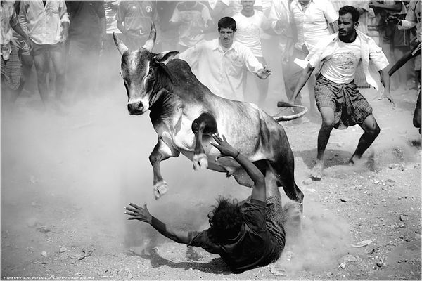 Jallikattu Black & White