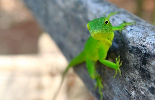 jamaica gecko
