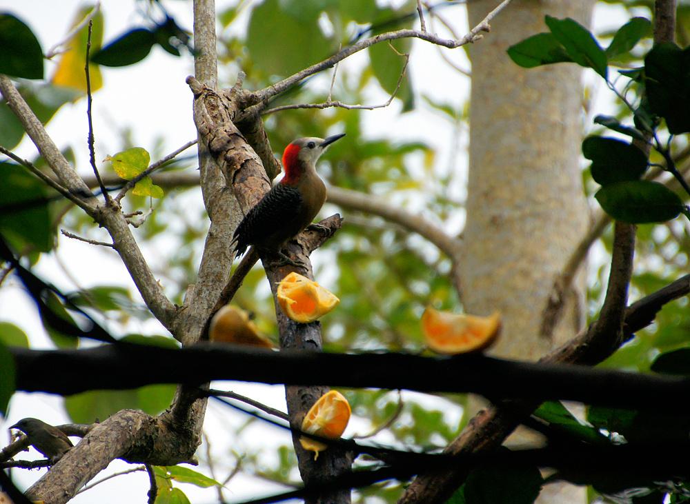 ..Jamaican Woodpecker..