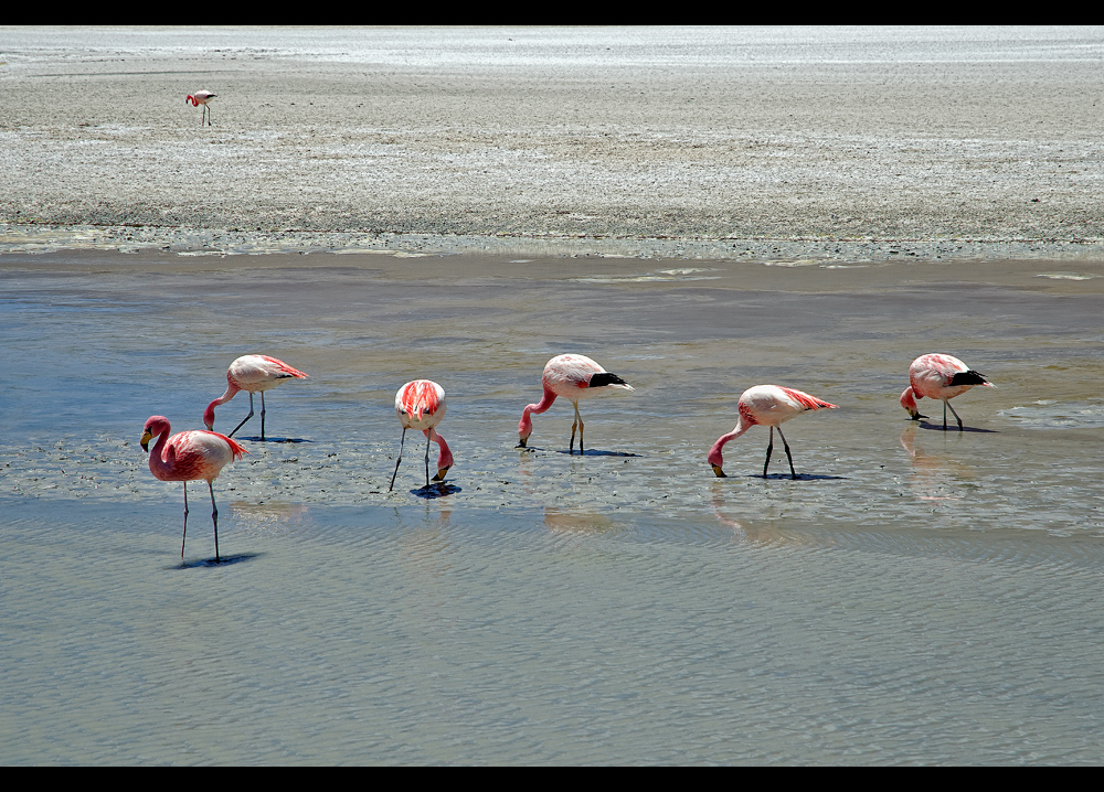 James Flamingos...