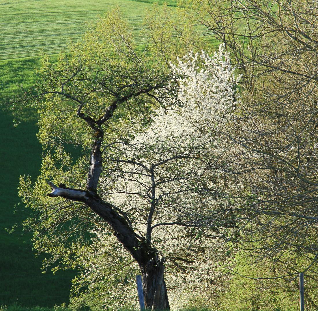 Janus im Baum