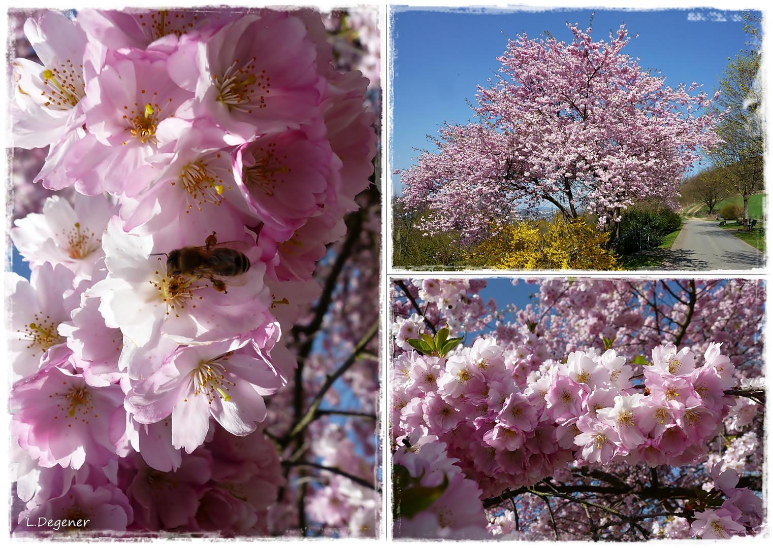 Japan.-Kirschblüten