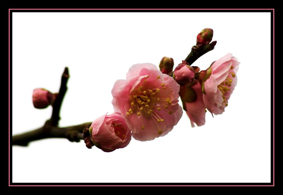 japanische aprikose foto bild pflanzen pilze flechten pflanzen im winter blumen. Black Bedroom Furniture Sets. Home Design Ideas