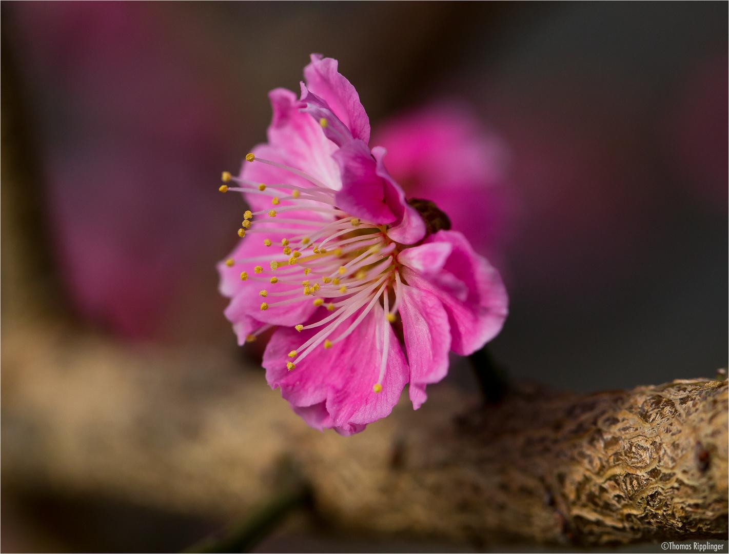 Japanische Aprikose (Prunus mume)...
