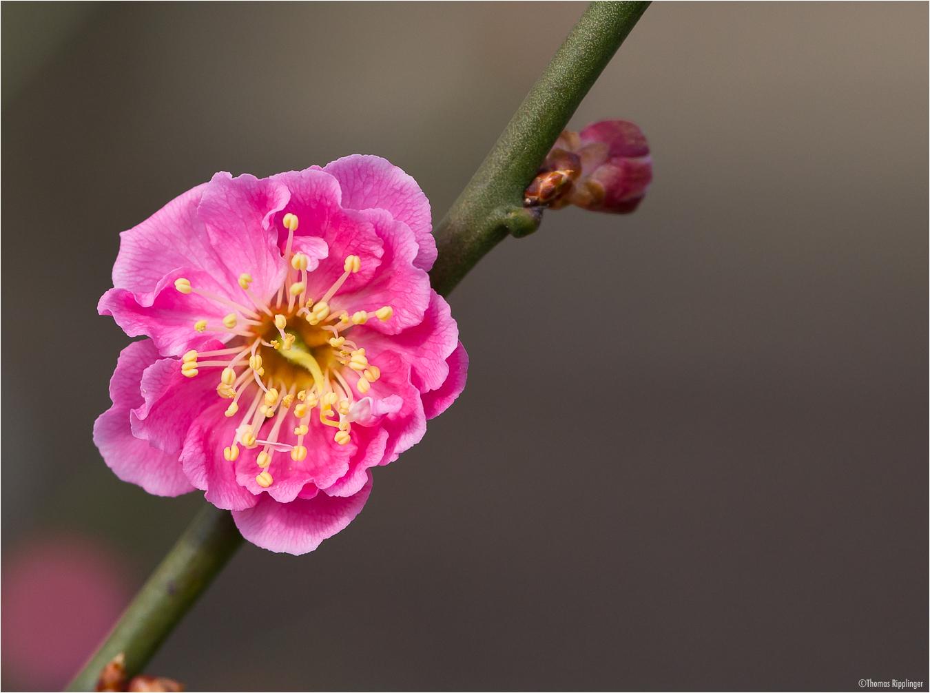 Japanische Aprikose (Prunus mume)