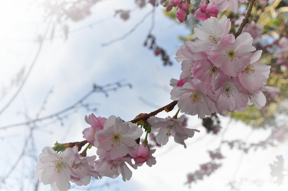 Japanische Blütenkirsche....