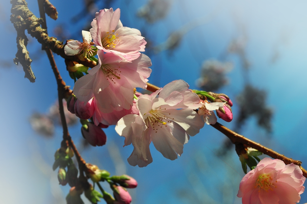 Japanische Blütenkirsche...