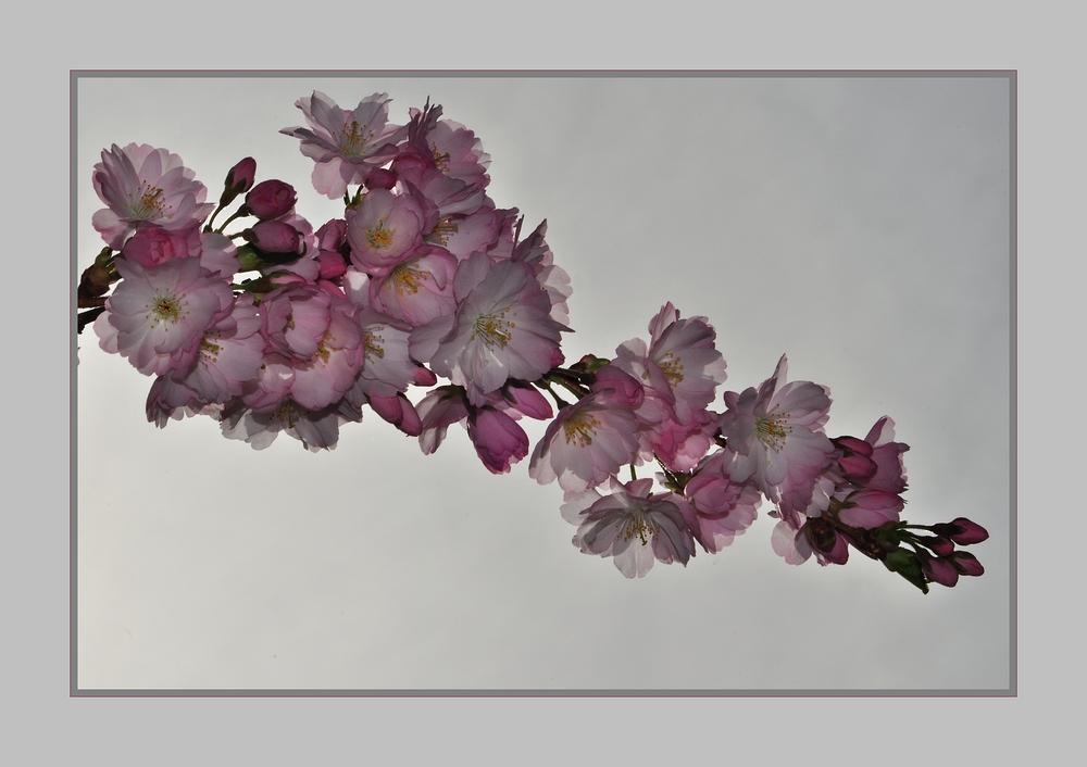 Japanische- Blütenkirschen.......