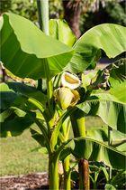 Japanische Faser-Banane (Musa basjoo)