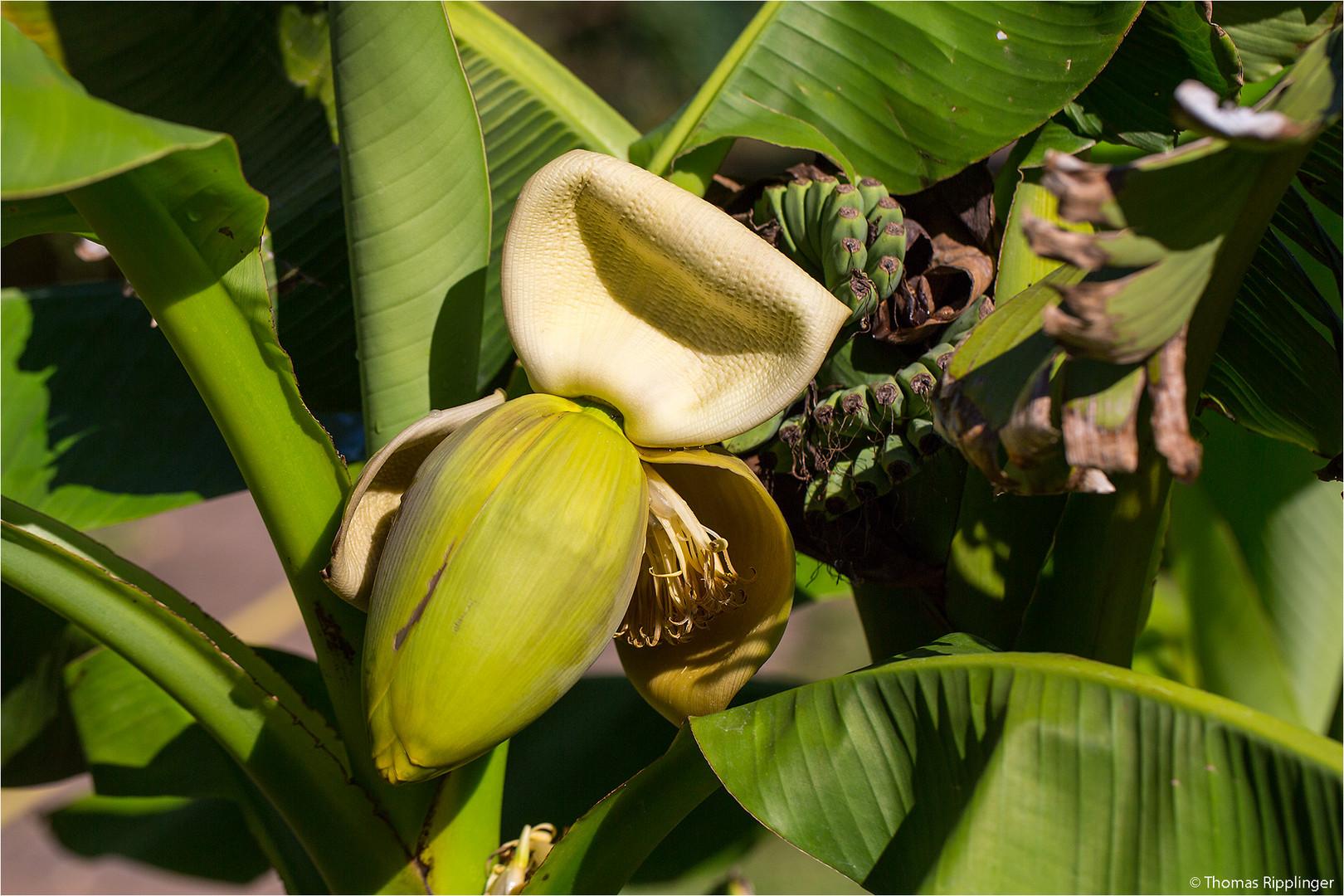 Japanische Faser-Banane (Musa basjoo).