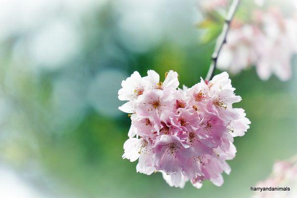 Japanische Kirchsblüten