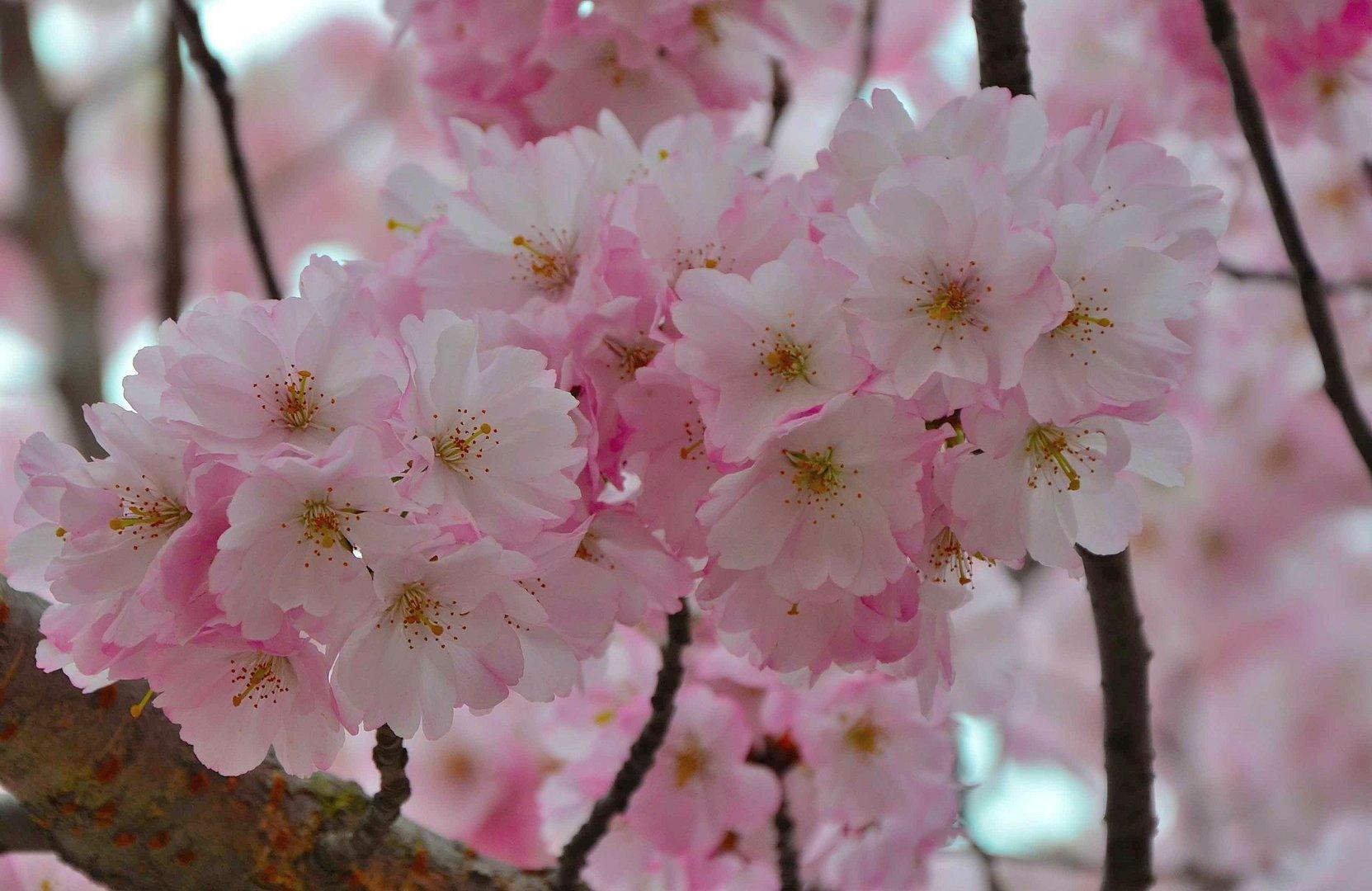 Japanische Kirschbaumblüte.