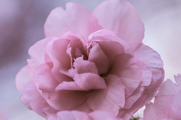 Japanische Kirschblüte im Aufbruch