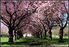 Japanische Kirschblüten Allee