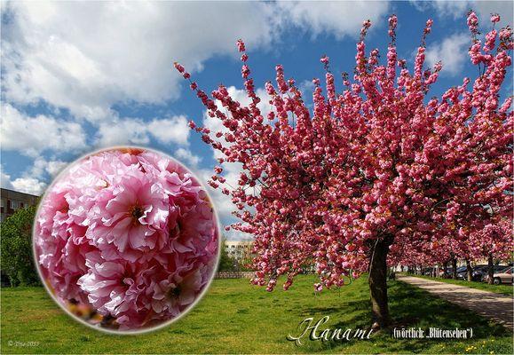 Japanische Kirschblüten, Hanami