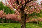 Japanische Kirschblütenallee...