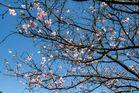Japanische Kirsche 3