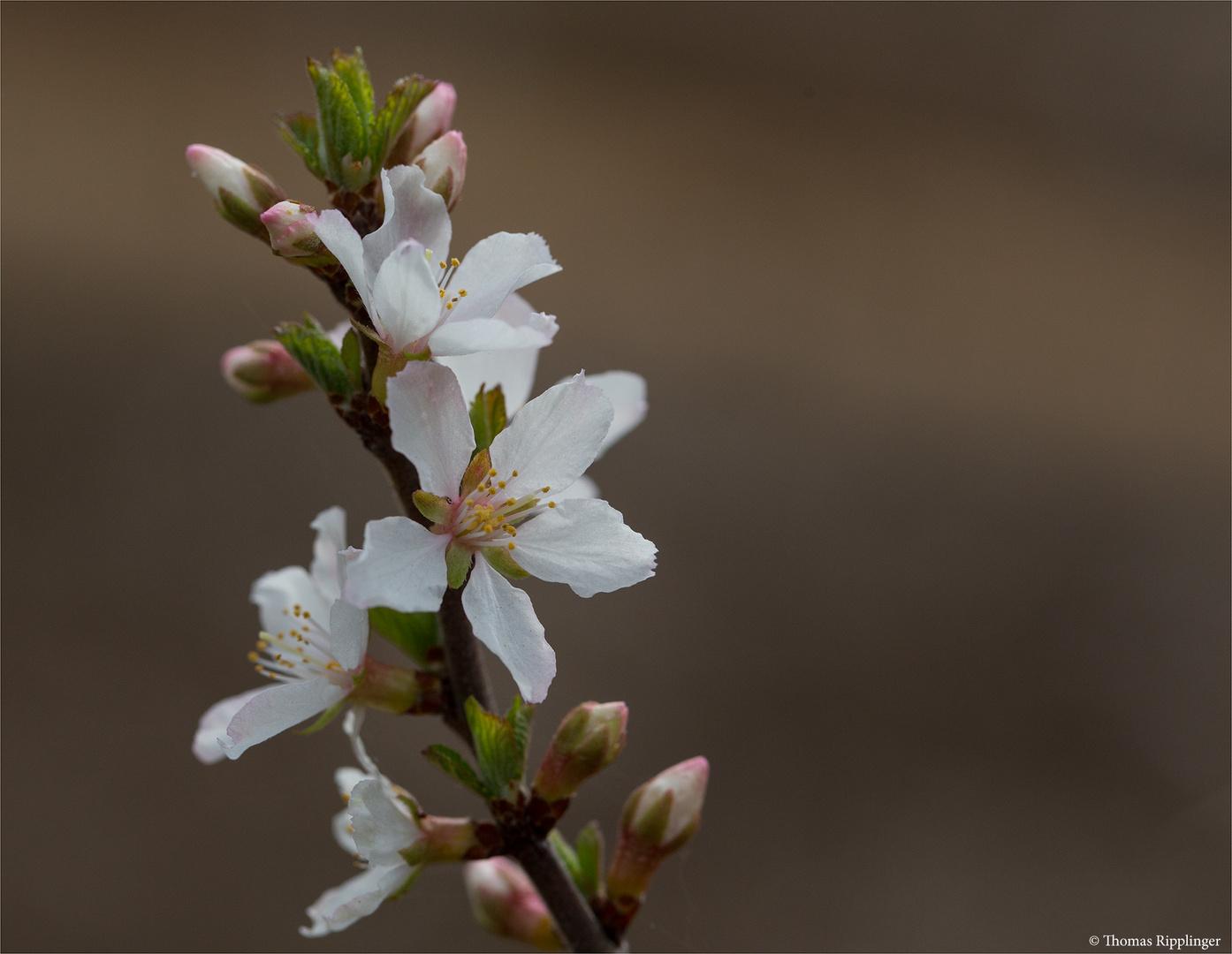Japanische Kirschmandel (Prunus tomentosa)..