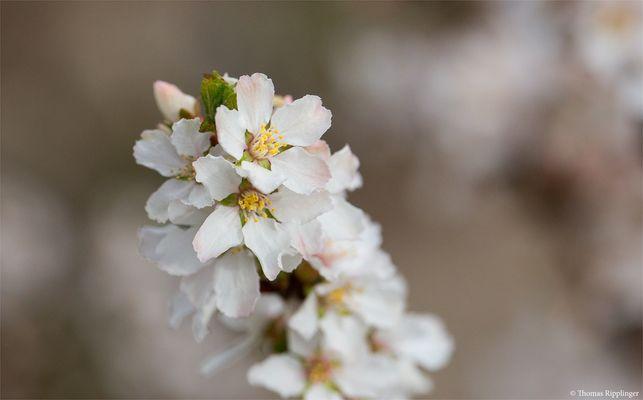 Japanische Kirschmandel (Prunus tomentosa).