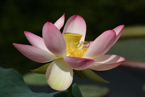 Japanische Liebesblume