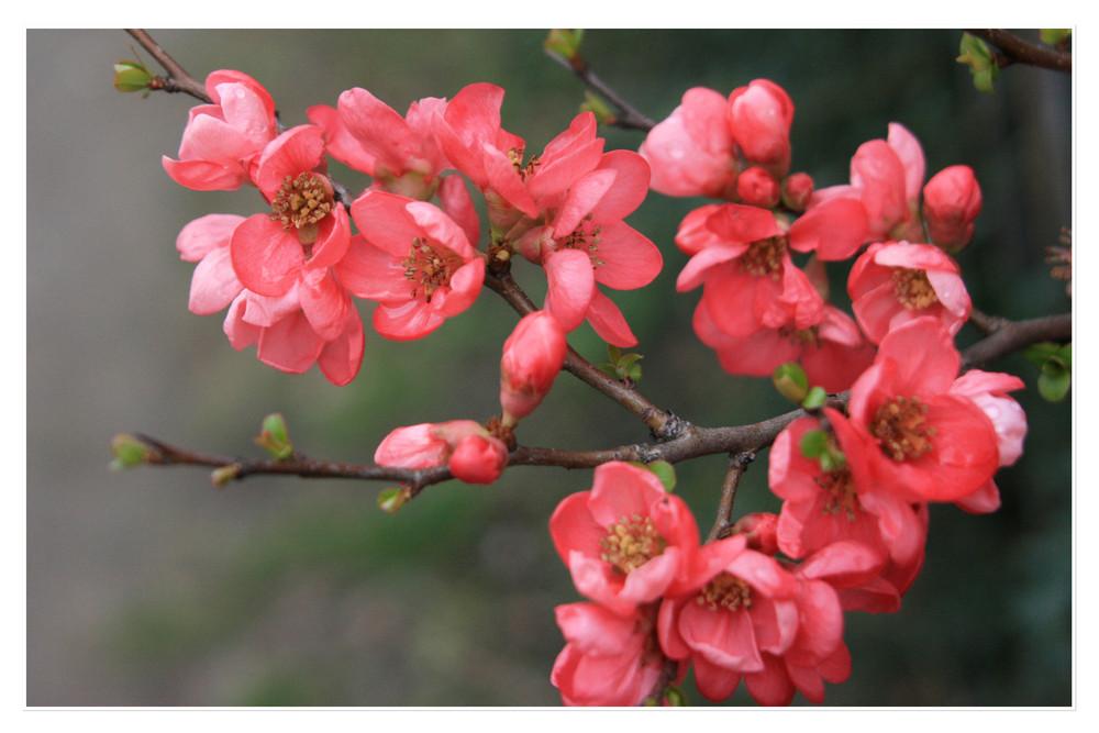japanische rosenquitte foto bild pflanzen pilze. Black Bedroom Furniture Sets. Home Design Ideas