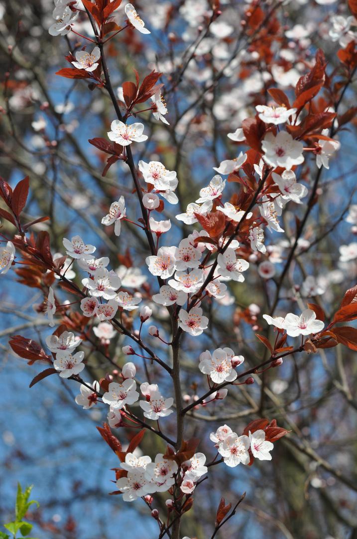 Japanische-Zierkirscheblüte.........(Blutrot)