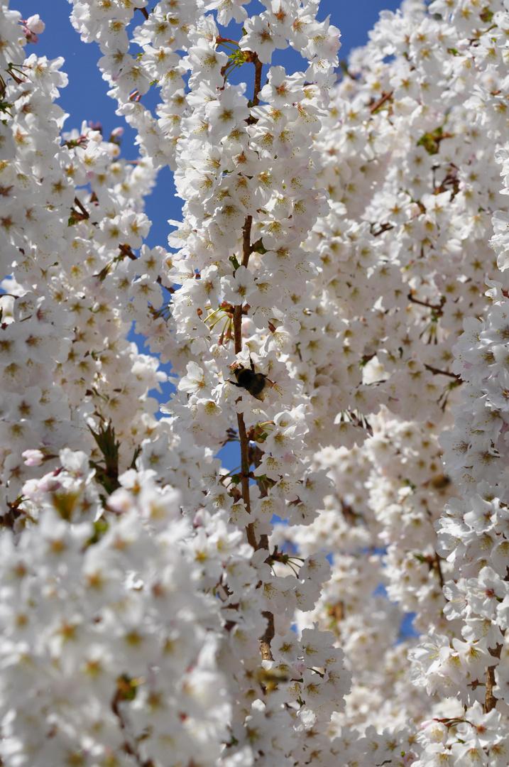 Japanische-Zierkirscheblüte~~~~~Nr.:1