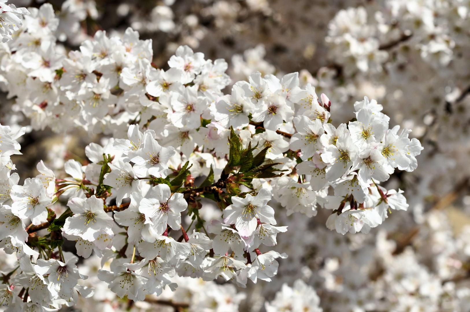 Japanische-Zierkirschenblüte~~~~~Nr.:2