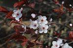 Japanische-Zierpflaumen.....,