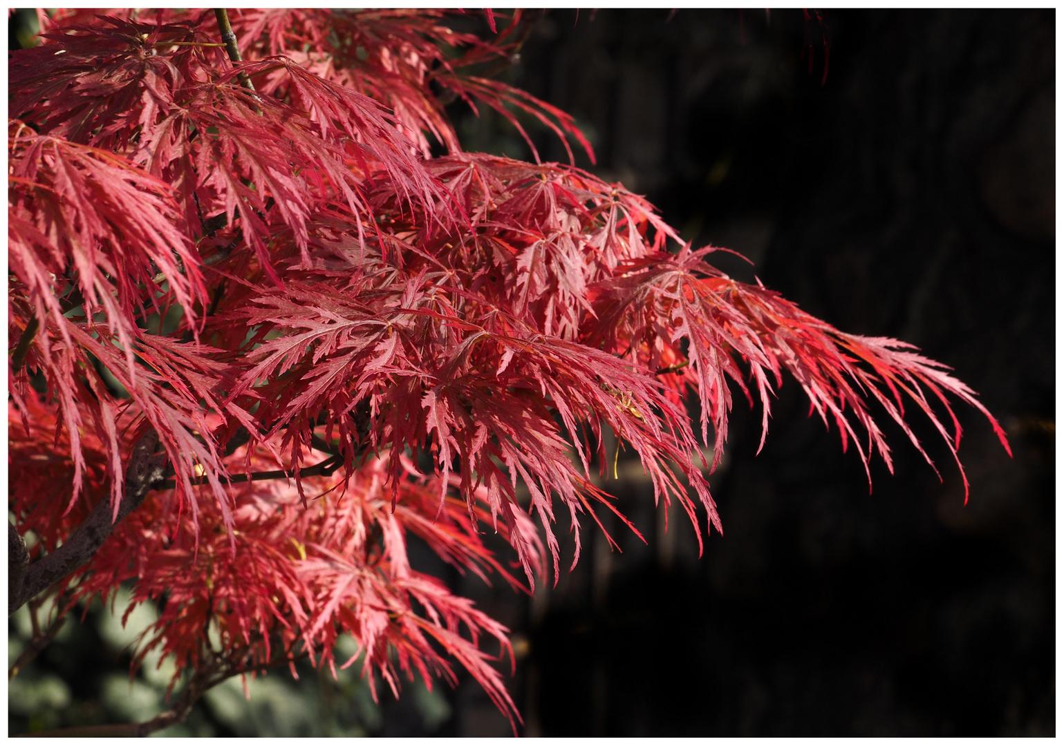 Japanischer Ahornbaum