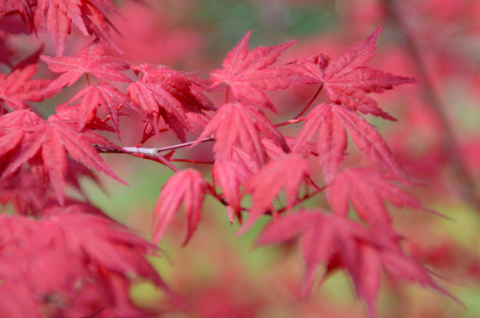 Japanischer (halbgrüner( Fächerahorn