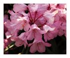 Japanischer Rhododendron